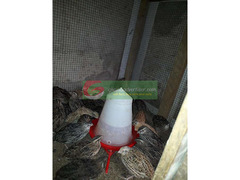 Ready to lay quails at an affordable price for more it is ne