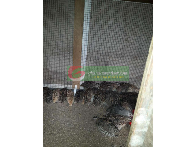 Ready to lay quails at an affordable price for more it is ne - 2