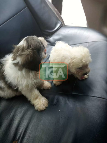 Poodle puppies - 3