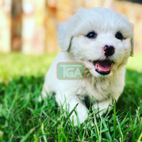 Pure breed Maltese pup for sale - 1