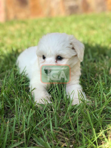 Pure breed Maltese pup for sale - 2