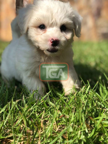 Pure breed Maltese pup for sale - 3