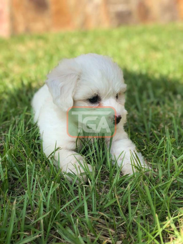 Pure breed Maltese pup for sale - 4