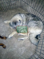 Caucasian shepherd for sale