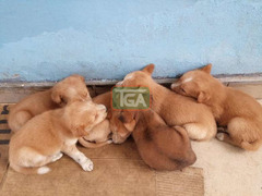 Cute local puppies for sale