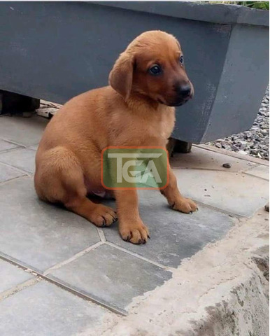 Beautiful puppies for sale - 1