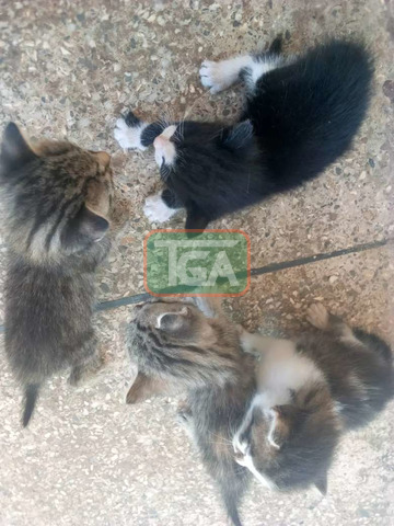 Kittens for sale - 3