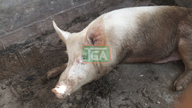 Pig for sale - 2