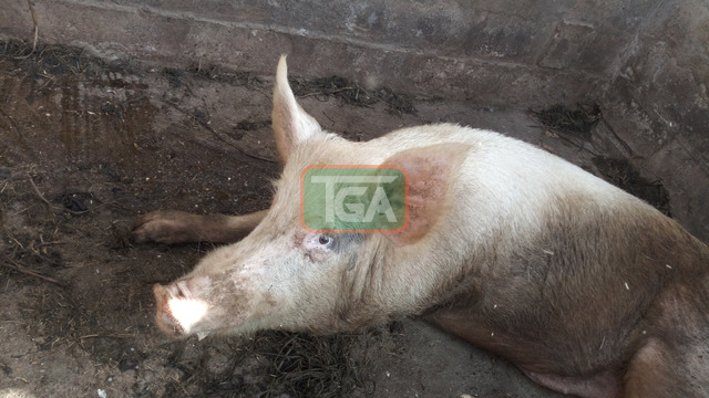 Pig for sale - 3