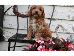 Adorable English Cockapoo Puppies